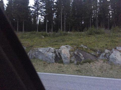 Kay Robin knipset bilde av ulven på vei bort.