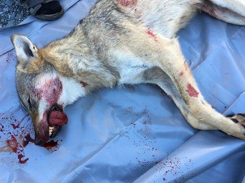 Denne ulvetispa ble felt i Østre Toten 7. august etter å ha angrepet nærmere 300 sauer i Hurdal, Gran og på Toten. Et flertall av velgerne i Oppland ønsker enten færre ulver eller ulven helt utryddet fra norsk natur.
