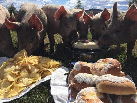FESTMÅLTID: Å være gris i Snertingdal er ikke det verste man kan være.