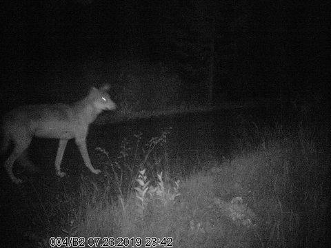 ULVEN: Dette er ulven som etter alt og dømme har oppholdt seg på Veståsen i Land gjennom sommeren og høsten. Fra søndag er innpå 100 lisensjegere klare til å forsøke å felle den. 23. juli ble ulven fanget på viltkamera (bildet) i området ved vannet Drengsprengen i Sør-Aurdal.