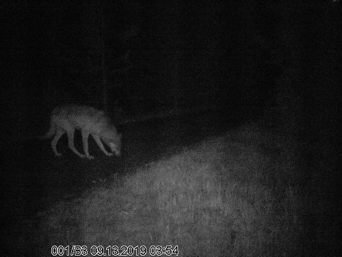 FLERE?: 13. september ble ulven sist fanget på viltkamera. Nå knyttes spenning til nye prøver fra helga, om det er fra samme dyr eller om det kan være flere i området.