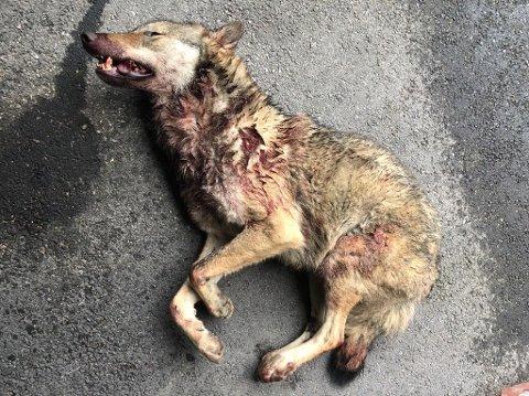 PÅKJØRT: En ulv ble påkjørt i Langholsvegen i Elverum natt til fredag.
