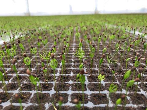 PLANTER: Millioner av trær skal plantes ut i skogen.