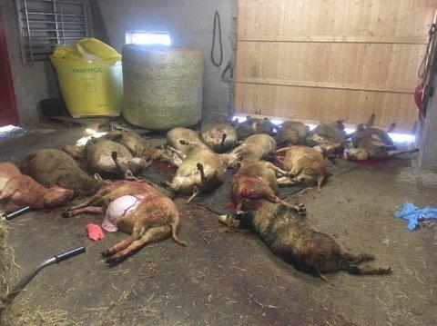 Sauebonde Hanne Næss i Gausdal skjønte raskt at mange av sauene hennes måtte avlives, etter at hun fant dem hardt skadet etter at de var blitt angrepet av en hund.