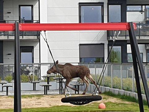 FOTO: Elgkalven var innom lekeplassen, og på bildet ser det nesten ut som om at den husker.