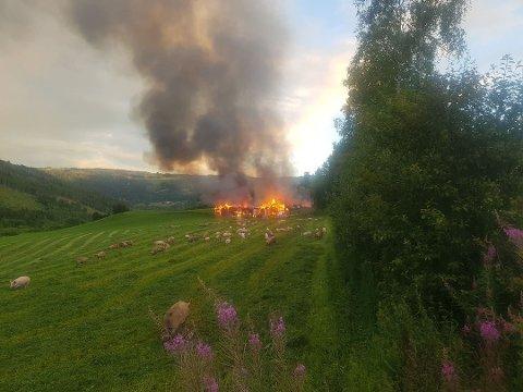 To fjøs brant ned i en voldsom brann på Tretten onsdag kveld. Mange av de overlevende grisene vil bli avlivet. Foto: Fride Rivø Lie