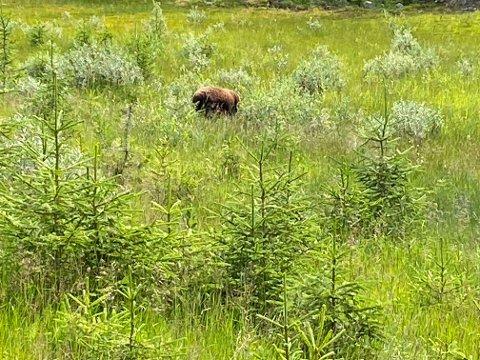 BJØRN: Viser bildet en bjørn på vandring ved Sjusjøen? Eller er det sau? Rovviltkontakt Olaf Tørudbakken vil ikke konkludere ut fra bildet.