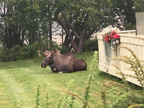 Naboene til Gimle skole har hatt besøk av elg i hagen de siste to dagene. Den opptrer relativt beruset, og har også vist tegn til en grad av opphisselse.