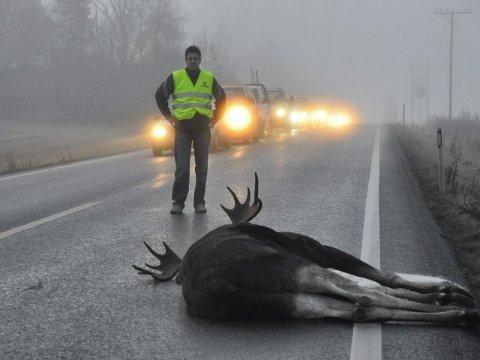 RING 02800: Er du så uheldig å kjøre på et dyr, er du pliktig til å varsle viltnemnda eller politiet, slik det ble gjort da dette dyret ble påkjørt i 2009. FOTO: CHRISTIAN CLAUSEN