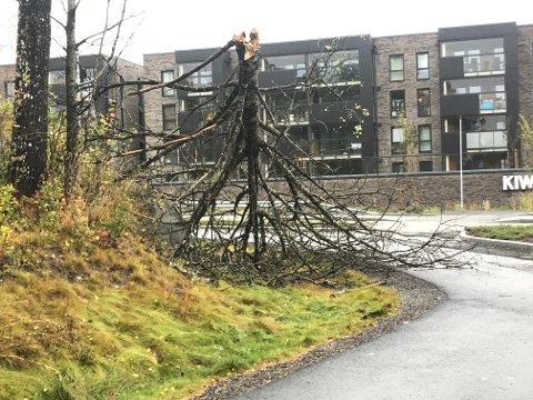KNEKT: Treet på Myrvold er knekt tvers av.