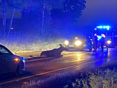TRAGEDIE: Denne elgen påkjørt på E18 mellom Nygårdskrysset og Holstadkrysset i Ås i august 2020. Nær 2000 hjortevilt mister hver år livet i trafikken i Viken.