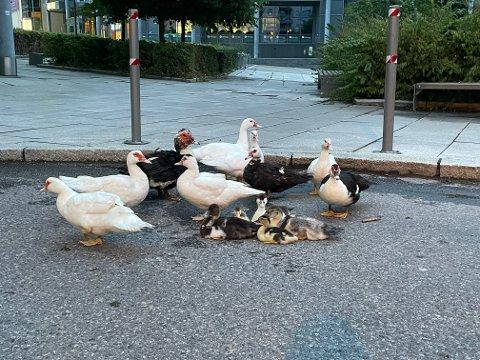 Ni voksne, og fem, seks små fugler ble forsøkt satt ut ved Kolbotnvannet, mandag kveld.