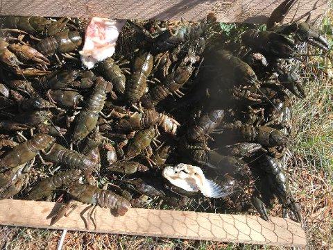 BEGRENSET: Fangst som dette bør ikke være målet for den som får muligheten til å krepse i Østmarka i år. Maksgrense på 20 kreps per fiskekort er innført flere steder.