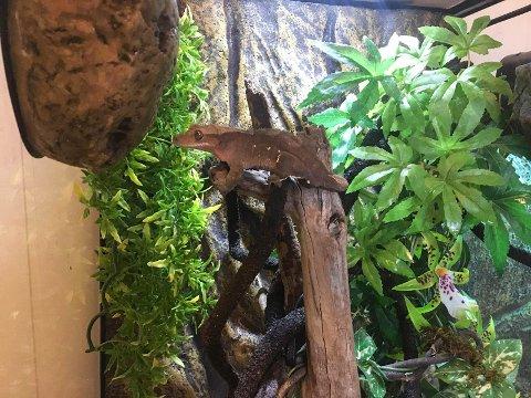 Til salgs: Sondres kranset gekko er til salgs, og han synes det er skremmende hvor mange som ønsker å kjøpe en reptil, uten å vite noe om hvordan de skal ta vare på den.