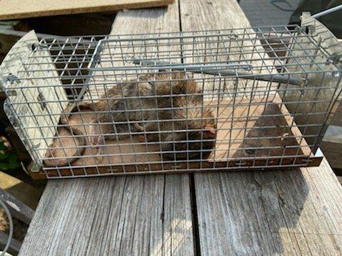 STORE ROTTER: Denne rotta ble nylig fanget av en huseier i Dr. Backers veg. Inkludert hale ble lengden målt til 50 centimeter.