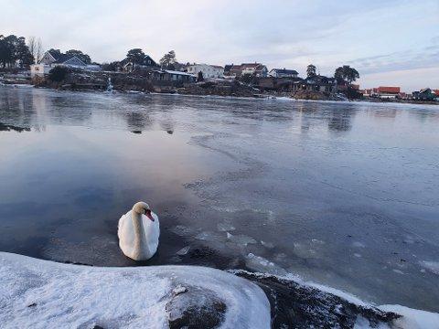 FIN FORM: – Gleden er stor over å se at den endelig er i vann igjen. Den satt fast på isen litt lenger inn i sundet. Partneren er trolig ute etter mat, sier Lars Andreas Grønneberg, som tok dette bildet noen timer etter at hendelsen fant sted.