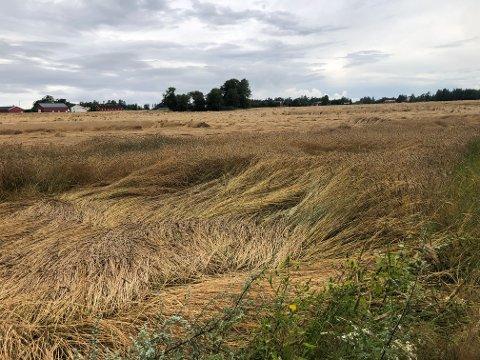 LEGDE: Torsdag morgen og formiddag kom det betydelige nedbørsmengder i Larvik-distriktet. På  åkeren til Thor Martin Haugene i Brunlanes ser man tydelig hvordan legde kan prege hvetehøsten.