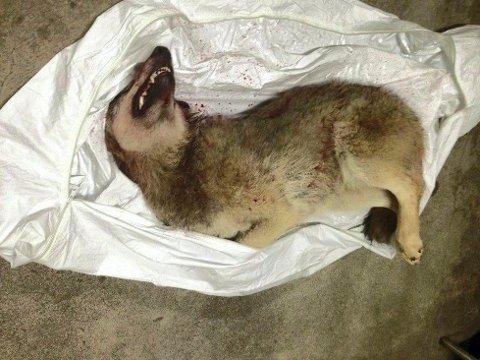 UNG HANN: Ulven som ble skutt på reveåte på Åsta var en ung hannulv, trolig ikke mer enn 10 måneder gammel.