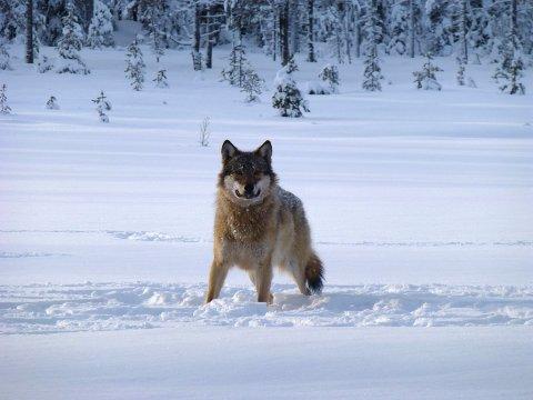 PÅ TUR: To av ulvene fra Slettåsflokken har dratt østover. Til Stockholm.