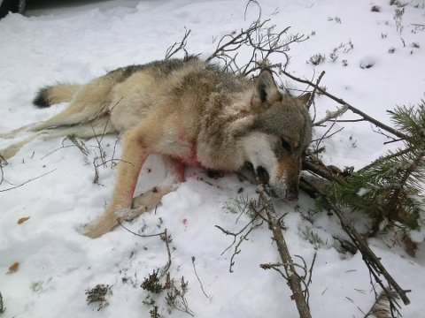 SAKSØKER STATEN: Verdens naturfond har saksøkt staten og mener planene om å skyte 50 ulv i vinter er i strid med loven. (Arkivfoto)