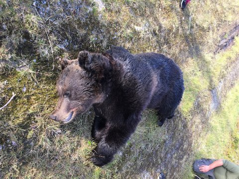 STOR: Hannbjørnen veide rundt 200 kilo og ble skutt søndag ettermiddag i Ringsaker. (Foto: Privat)
