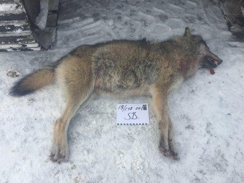 SKUTT: Denne ulvetispa ble tatt i Grue tirsdag formiddag. Ulven på bildet er merket 18/1-18. Dette er feilmerket, ifølge rovviltkontakt i Statens naturoppsyn, Simen Bredvold. Han forklarer overfor Østlendingen at ulven på bildet er den som ble tatt ut i Grue tirsdag, og at teksten på bildet indikerer feil dato. Foto: Statens naturoppsyn