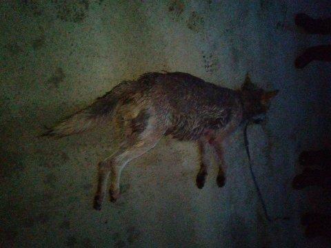 SKUTT: En ung hannulv ble sent mandag kveld skutt i Stor-Elvdal av det kommunale fellingslaget. (Foto: Privat)