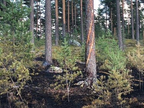 LYN: Ved dette treet startet trolig skogbrannen i Mosjømarka etter et lynnedslag fredag.