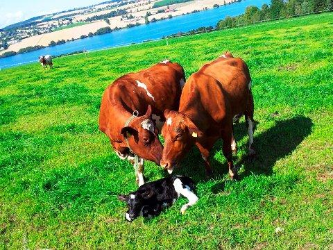LÅNEORDNING: Sparebank 1 Østlandet etablerer en låneordning for å hjelpe bøndene med å kjøpe grovfôr til dyrene.