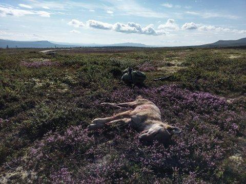 ULVETISPE SKUTT: En ulvetispe ble mandag skutt i Sølendalen i Rendalen. Det er den andre ulven fellingslaget tar ut denne sommeren.