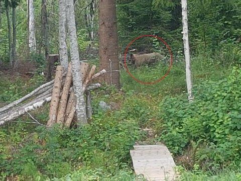 BAMSE BAK HUSET: Bjørnen brydde seg verken om hund  eller eier, da den gikk forbi huset til Leif Gunnar Halvorsen i Hernes. (Foto: Leif Gunnar Halvorsen)