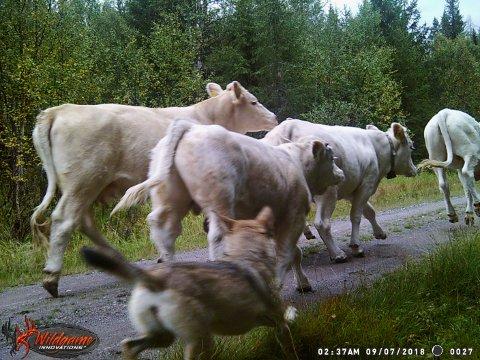 DOKUMENTERT ANGREP: Fredag ettermiddag ble en kuflokk angrepet av en ulv i Slemdalen, på grensa mellom Åmot og Rendalen. Dato og klokkeslett på bildet er korrekt, med unntak av at bildet skulle ha vært datokodet PM. Bildet er tatt fredag ettermiddag. Foto: Inge Bekkelund / Halvor Sveen