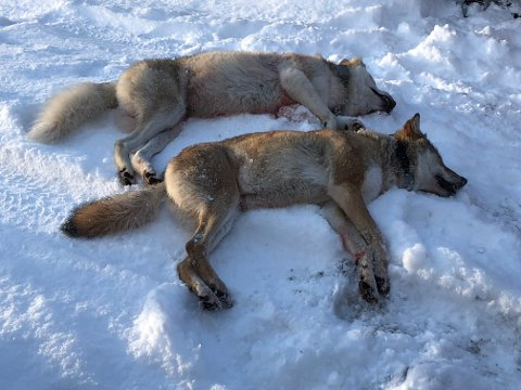 TO SKUTT: Den omstridte ulvejakten på Slettås-flokken i Trysil startet første nyttårsdag med at to ulver ble skutt få timer etter at jakten startet.