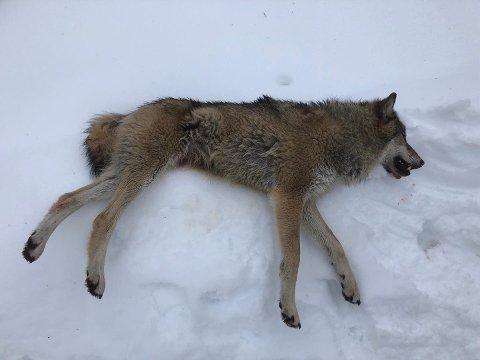 ULV: Dette er ulven som ble felt torsdag formiddag.