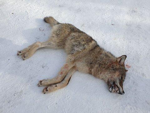 SKUTT: Hanulven ble skutt tirsdag morgen i området rundt Åkrestrømmen i Rendalen.