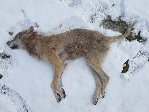 SKUTT: Tirsdag morgen ble en ulvetispe på rundt 25 kilo skutt i Rendalen.