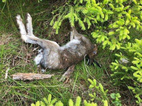 FUNNET DØD: Denne haren ble funnet på Budor søndag kveld. Trolig død av harepst.