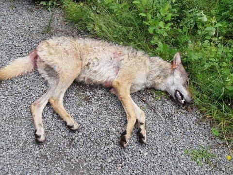 SKUTT: Denne hannulven på 43 kilo ble torsdag formiddag skutt i Løten.