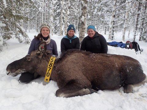 ELGFORSKERE: Alina Evans, Alexandra Thiel og Anne Randi Græsli (til høyre) sammen med en bedøvet elg, som deltok i prosjektet.
