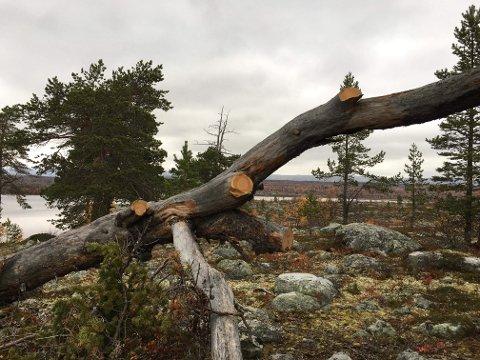 ULOVLIG HOGST: Lovbruddene har skjedd i Femundsmarka nasjonalpark mellom Storrundhåen og Storfisktjønnan.