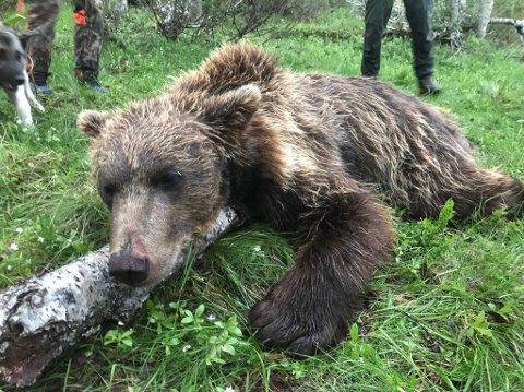 FELT: Denne bjørnen ble felt i Brekken natt til onsdag.
