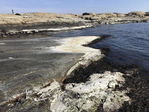 Ufarlig: Det hvite belegget som er å se på svaberg og steiner blant annet her på Moutmarka, er ikke farlig, ifølge kystverket. Foto: Ralf Haga
