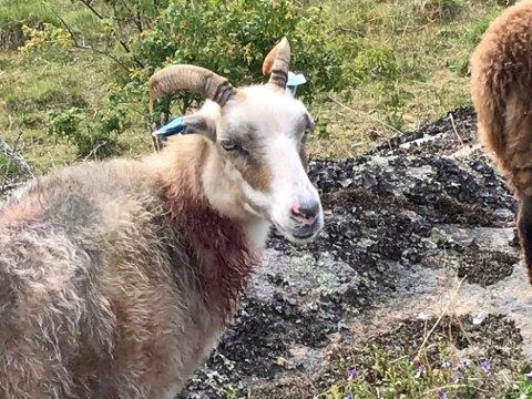 Det var et sørgelig syn som møtte bonden. Sauen hadde blitt bitt og var blodig.