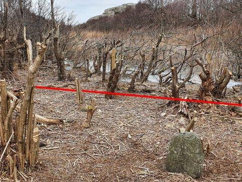 Bildet viser hogsten som er anmeldt nå. Den røde streken er nasjonalparkens grense. - Alt bak den er hugget uten tillatelse, sier Per Espen Fjeld i SNO, som ikke oppgir hvor og hvem anmeldelsen dreier seg om. i dette tilfellet.