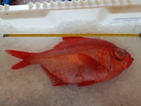 Dette er brudefisken som yrkesfisker Trond Eriksen fikk i trålen fredag. Brudefisken heter egentlig Alfinso, langfinnet Beryx, og er en sjelden skapning i norske farvann. Men av og til dukker den opp i norske farvann, som denne gang i Langesundsfjorden.
