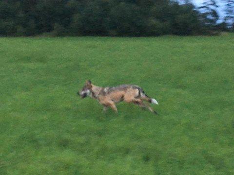 Her er ulven som tok to sauer tirsdag. (Privat foto)