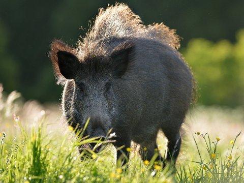 Villsvinet sprer seg i Norge. NJFF Østfold ønsker strukturert avskyting av Villsvin, men beholder gjerne dyret i landet.