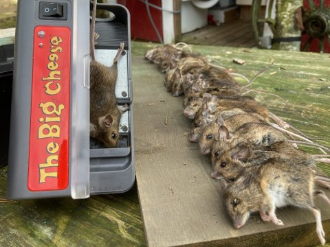 EN DAGS FANGST: Nærmere 30 mus gikk i fella i løpet av noen timer.