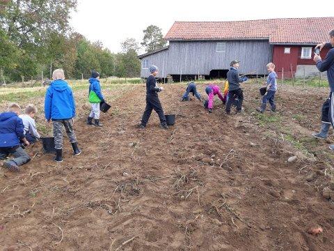 Plukket poteter: Flinke elever fra Kirkeng skole jobbet iherdig på jordet på Høitomt.
