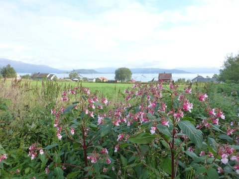 Kjempespringfrø er svartelistet og uønsket, men vokser på stadig flere steder også i Nordland.